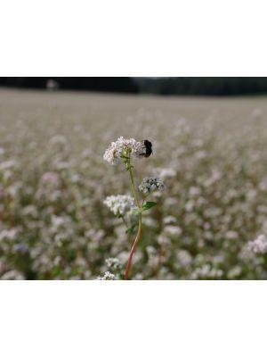 Bio Buchweizung Saatgut von Semo-Bio - Inhalt 1kg