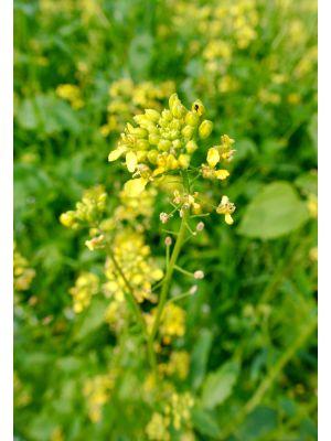 Bio Gelbsenf Saatgut Semo-Bio - Inhalt 1kg